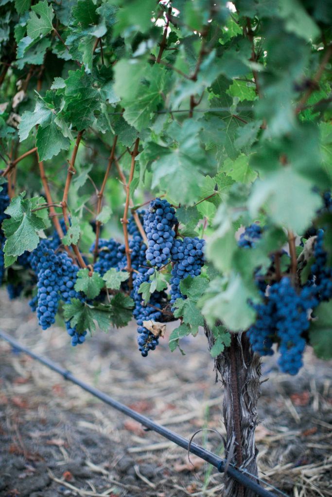 August Cabernet Grapes-30