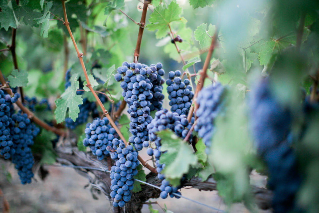 August Cabernet Grapes-39